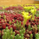 Groendak: een dak vol vetplantjes