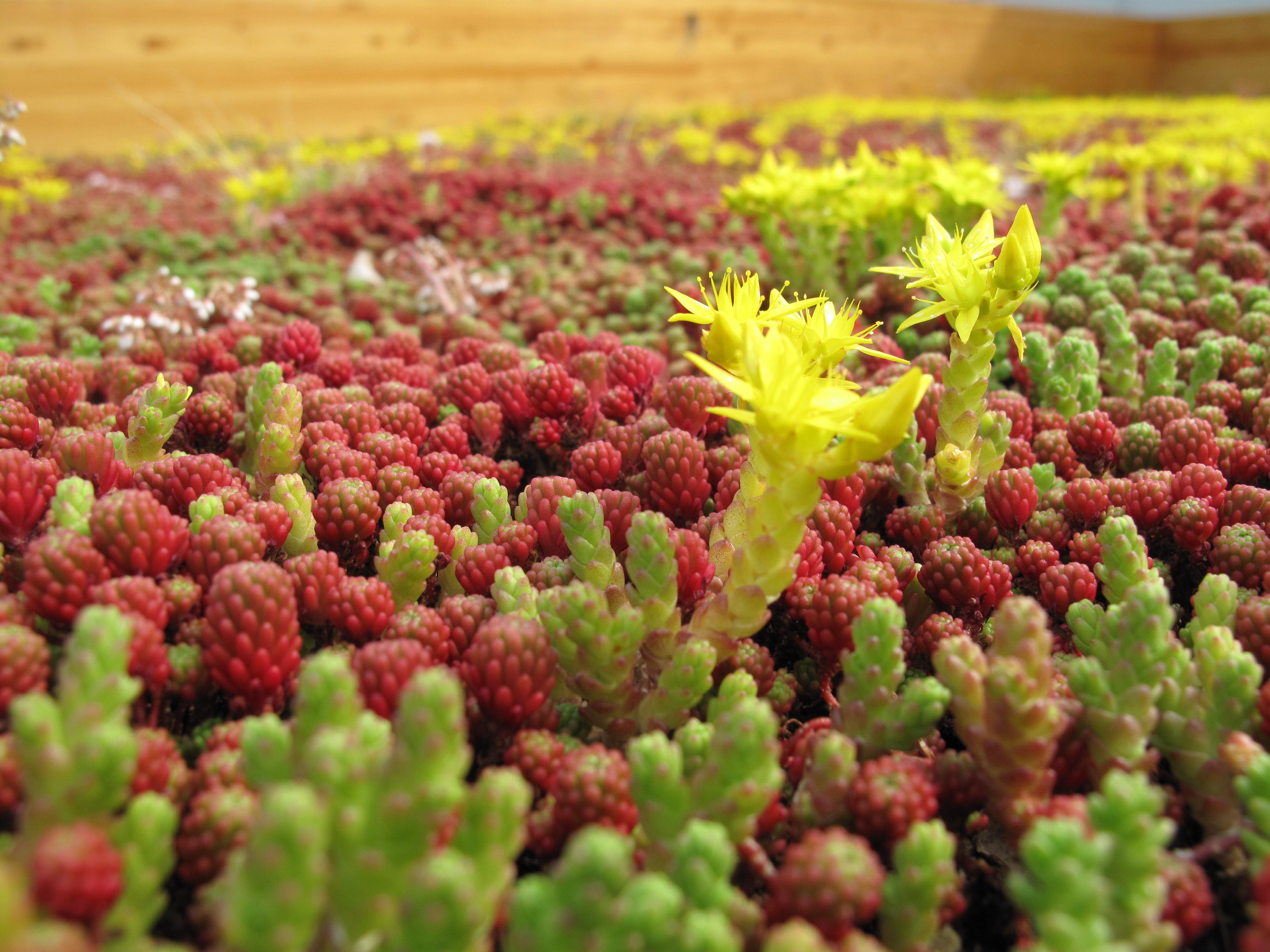 Groendak een dak vol vetplantjes groendak - Daken en volumes ...