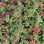 sedum_abum_coral_carpet