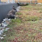 Natuurlijke bestrijding van gras op een sedumdak